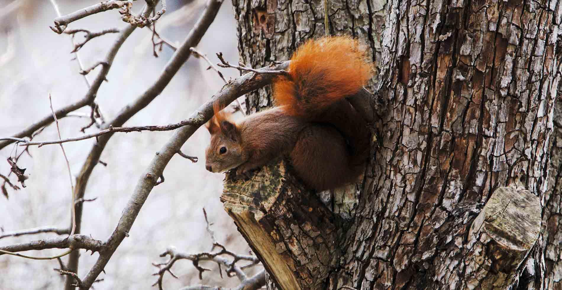 Das Eurasische Eichhörnchen