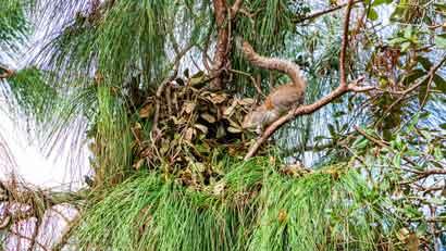 Eichhörnchen bauen Kobel