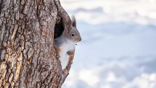 Eichhörnchen nisten in Baumhöhlen falls vorhanden