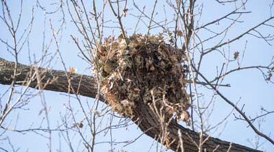 Eichhörnchen nisten in Kobeln