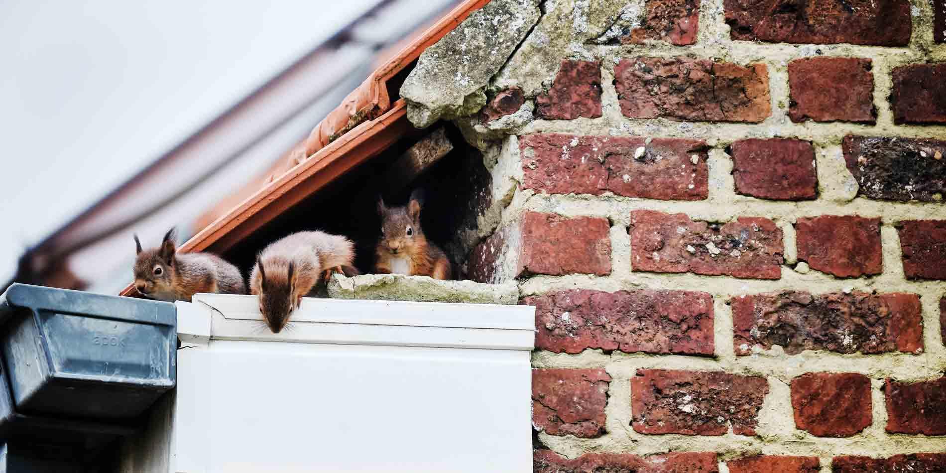 Eichhörnchen nisten