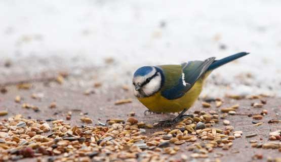 Heimische Gartenvögel füttern