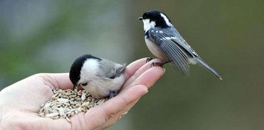 Unsere heimischen Gartenvögel