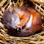 Wo Eichhörnchen nisten