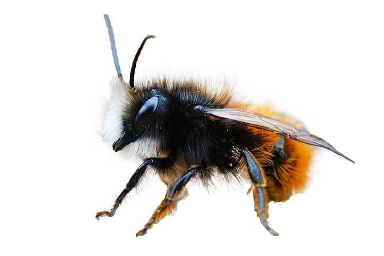 Mauerbiene Wildbiene
