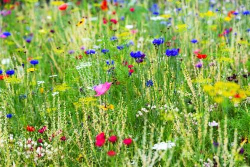 Wildblumenwiese Wildbienen