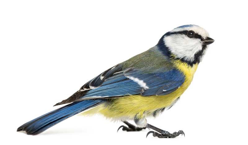 Blaumeisen nutzen gerne Vogelfutterstationen